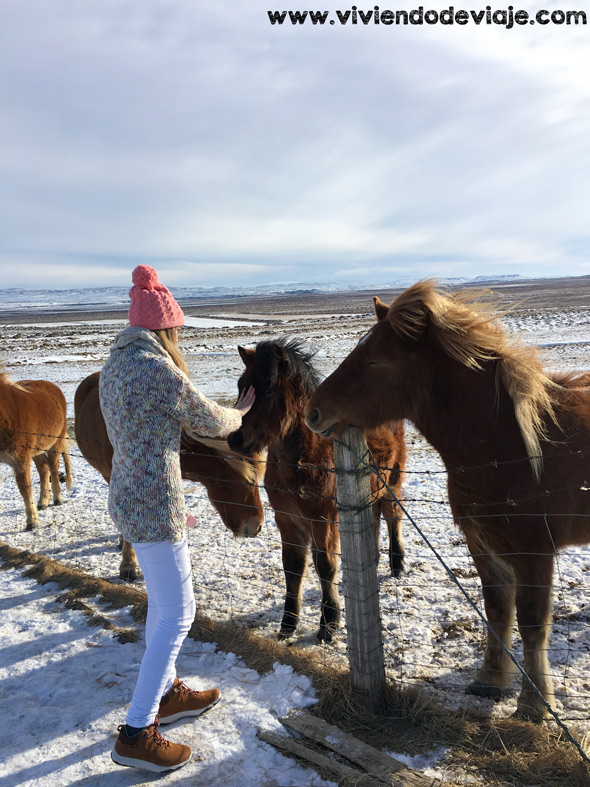 caballos en Islandia