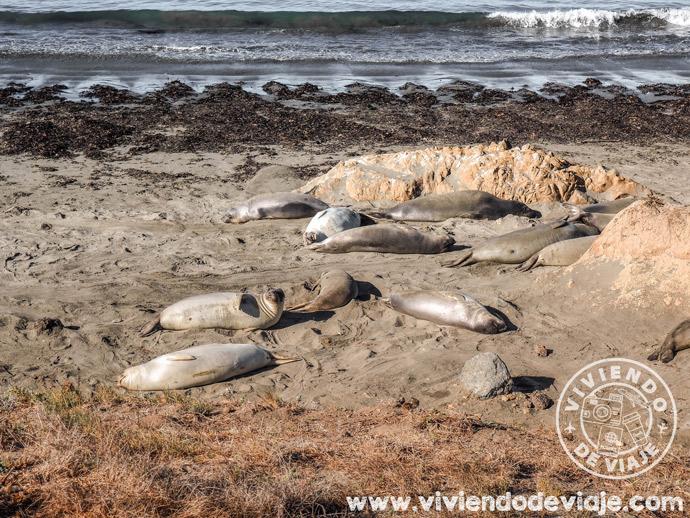 Elefantes marinos en la ruta por la costa de California